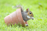 Grey Squirrel Sitting in Flower Pot Photographic Print