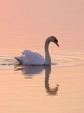 Mute Swan on Calm Water at Sunrise Impressão fotográfica