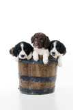 Springer Spaniel Puppies Sitting in a Bucket Photographic Print