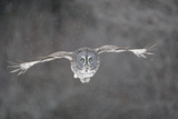 Great Grey Owl Flight Fotografická reprodukce