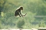 Rock Ape Leaping Fotografisk trykk