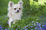 Long-Haired Chihuahua Photographic Print
