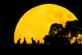 Eastern Grey Kangaroo Small Group Silhouetted Photographic Print