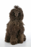 Brown Poodle Sitting Down Photographic Print