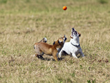 Red Fox Cub and Jack Russell Playing with Ball Photographic Print