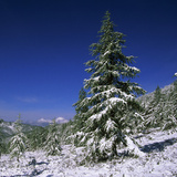 Fir Trees and Spruces after a Snowfall Photographic Print by Andrey Zvoznikov