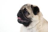 Pug Puppy (Head Shot) Reproduction photographique