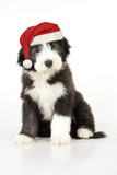 Bearded Collie Puppy Sitting Wearing Christmas Hat Photographic Print