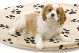 Cavalier King Charles Spaniel Puppy Lying on Bed Photographic Print