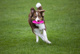 Border Collie with Red Merle Playing with Frisbee Photographic Print