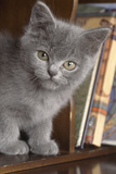 Kitten in Bureau Photographic Print