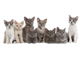 Line of Kittens in Studio Photographic Print