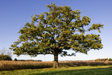 English Oak Tree Photographic Print