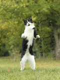 Black and White Cat Standing on Hind Legs Photographic Print