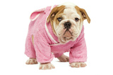 English Bulldog in Studio Wearing Pink Dressing Gown Photographic Print