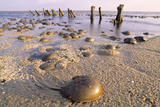Horseshoe Crab Often Found on Beach after Tide Recedes Photographic Print