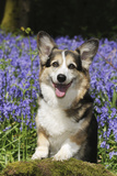 Pembroke Welsh Corgi Standing in Bluebells Photographic Print