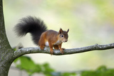 Red Squirrel Alert on Branch Photographic Print