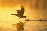 Greylag Goose Taking Flight at Sunrise Photographic Print