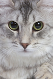 Turkish Blue Silver Mackerel Tabby Photographic Print