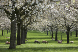 Orchard in Spring Blossom with Sheep Feeding Beneath Photographic Print