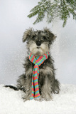 Schnauzer Puppy in Snow Wearing Scarf Photographic Print