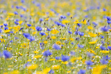 Wildflower Meadow Cultivated with Cornflower Lámina fotográfica