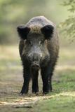 Wild Pig Sow Alert on Forest Track Fotografisk trykk