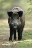 Wild Pig Sow Alert on Forest Track Photographic Print