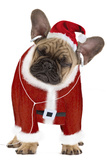 French Bulldog Dressed as Father Christmas Photographic Print