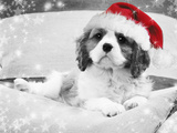 Cavalier King Charles Spaniel Puppy Wearing Photographic Print