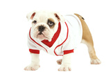 English Bulldog in Studio Wearing Red and White Top Photographic Print