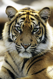 Sumatra Tiger Portrait Photographic Print