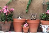 2 Kittens in Flowerpots Photographic Print