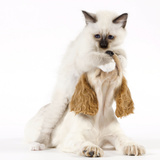 Cocker Spaniel with Cat Birman Kitten Photographic Print