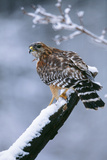 Red-Shouldered Hawk Adult in Snow Photographic Print