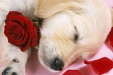 Golden Retriever Dog Puppy Asleep with Rose and Petals Fotografisk tryk