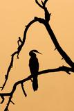 Indian Darter, Snakebird, Anhinga Silhouette Photographic Print