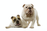 English Bulldogs Photographic Print
