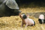 Domestic Pig Haellisches Pig Photographic Print
