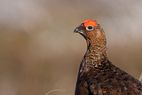 Red Grouse Single Adult Male Looking at the Camera Photographic Print