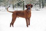 Rhodesian Ridgeback in Snow Photographic Print