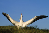 Wandering Albatross Courtship Wings Outstretched Photographie