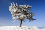 Scots Pine Covered in Snow and Frost Photographic Print