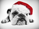 English Bulldog Lying in Studio Wearing a Christmas Hat Photographic Print