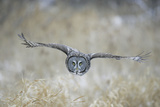 Great Grey Owl in Flight Reproduction photographique