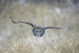 Great Grey Owl in Flight Fotografická reprodukce