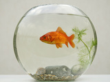 Goldfish in Goldfish Bowl with Weed Photographic Print