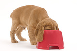 Cocker Spaniel Puppy with Head in Feeding Bowl Photographic Print