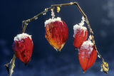 Winter Cherry Photographic Print